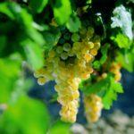 El boom de la uva de Rota